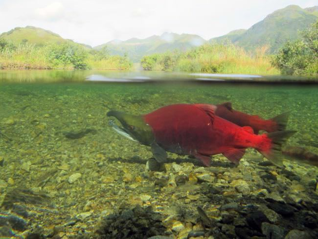 A new report says salmon, including sockeye, shown here, could have habitat disrupted by new rainfall and snow patterns caused by climate change. (Photo by Katrina Mueller/U.S. Fish and Wildlife Service)