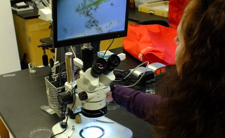 Entomologist Elizabeth Graham focuses a microscope at the Forest Service's Pacific Northwest Research Station in Juneau. She was examining water taken from a pond near the Herbert Glacier trail.