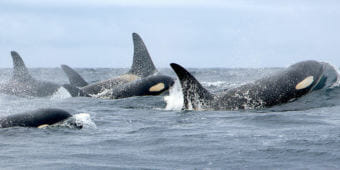 The population of endangered southern resident killer whales has dwindled to 76 individuals. (Photo courtesy Holly Fearnbach/NOAA)