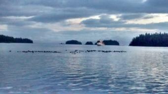 Sea otters raft up in the inside waters of Southeast Alaska in June 2014. (Photo courtesy Matt Lichtenstein)