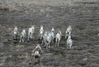 Caribou on the Nushagak Peninsula. (Photo courtesy Andy Aderman/U.S. Fish and Wildlife Service)