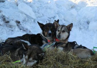 Joar Ulsom's dogs nuzzle up next to each other in Unalakleet on March 11, 2018.