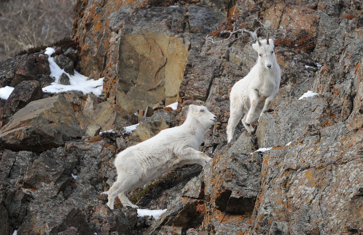 A pair of Dall sheep feed March 10 on the cliffs along Turnagain Arm and the Seward Highway south of Anchorage. (Photo by Bob Hallinen/Anchorage Daily News)