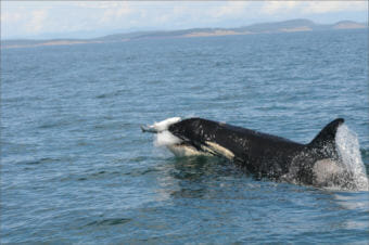 An endangered Southern Resident orca pursues a coho salmon off San Juan Island. Photo courtesy Candice Emmons/NOAA Fisheries/Northwest Fisheries Science Center)