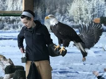 Sidney Campbell with Arden, an American bald eagle at the American Bald Eagle Foundation Raptor Center and Natural History Museum in Haines, Alaska. (Photo courtesy Stefanie Jenkinson)
