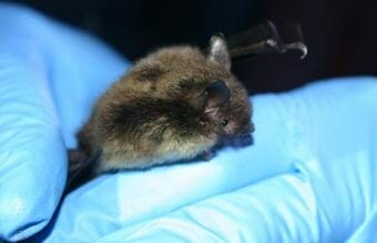 Myotis lucifugus is better known as the little brown bat. It is the only bat that resides in both Southeast and Interior Alaska.