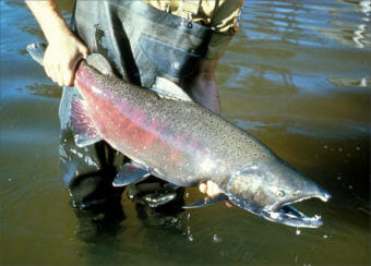 Wildlife officials expect returns of salmon in Washington state will be low this year. (File photo courtesy U.S. Fish and Wildlife Service)