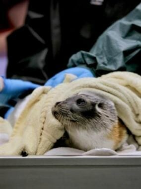 The male seal receives 24-hour care at the Alaska SeaLife Center in Seward. He was found sick on an Unalaska beach earlier this month. (Photo courtesy Alaska Sealife Center)