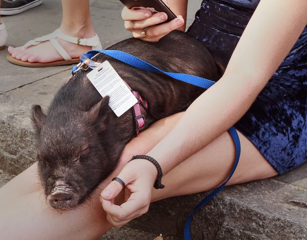 An emotional support pig (Photo by Ken Dodds/Flickr creative commons image)