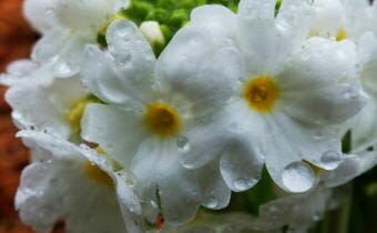 Close-up of tiny Primrose flowers as they bloom in a North Douglas garden.