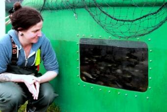 """Sitka Sound Science Center aquaculture director Angie Bowers examines the 14,000 coho smolt that survived near-suffocation May 5, 2018. Although not a disaster for the hatchery, """"this was intentional."""" Located in downtown Sitka on the historic Sheldon Jackson Campus, the center is considering installing surveillance cameras. (photo by Robert Woolsey/KCAW)"""