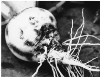 Damage to a turnip caused by root maggot larvae is shown in this image from a UAF Cooperative Extension Service flyer. Note the scars of surface feeding and entrances to feeding tunnels within the root.