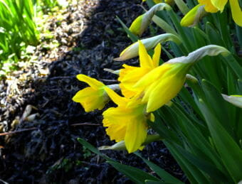 Daffodils bloom in a North Douglas flower bed lined with seaweed mulch.