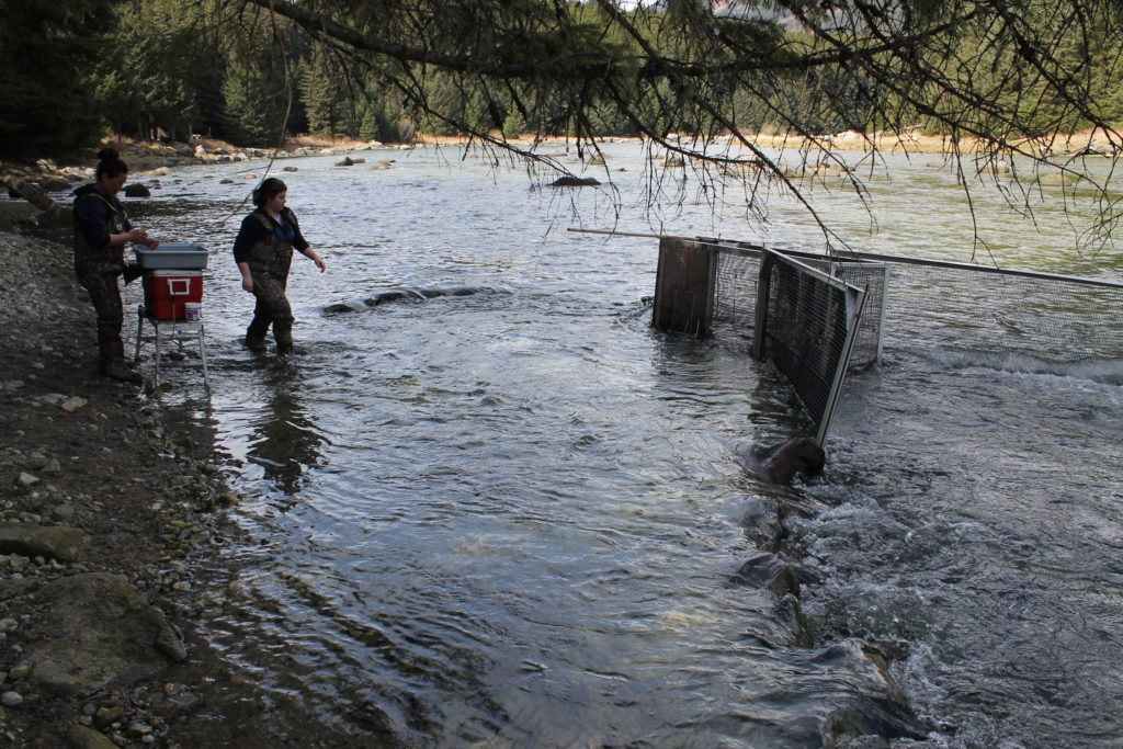 Researchers from Takshanuk Watershed Council mark hooligan on the Chilkoot River. (Photo by Henry Leasia/KHNS)