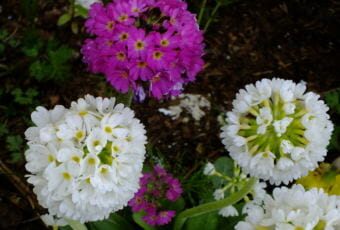 Primroses bloom in a North Douglas flower bed.