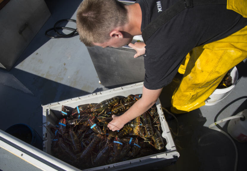 Austin Steeves packages lobsters after hauling traps on his grandfather's boat in Casco Bay, Portland, Maine. (Photo by Derek Davis/Portland Press Herald via Getty Images)