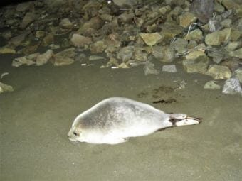 The first ringed seal was spotted last February near Kloosterboer at the Port of Dutch Harbor. (Photo courtesy Melissa Good/Alaska Sea Grant)