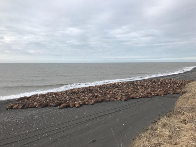 Walrus began showing up on the beaches near Port Heiden in early April. (Photo courtesy John Christensen)