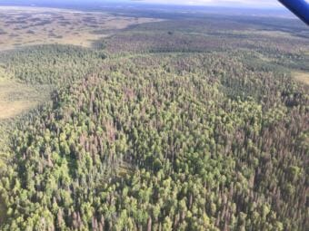 Spruce beetle outbreak in the Mat-Su Valley seen during the 2017 aerial detection survey. (Photo courtesy U.S. Forest Service)