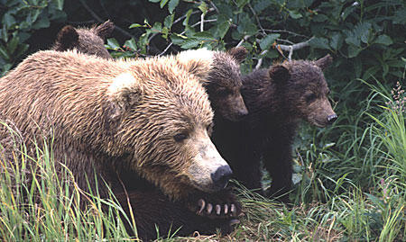 More than 200 brown bears were harvested in the Bristol Bay region in spring 2016, according to preliminary numbers from Alaska Department of Fish and Game. (Photo courtesy of National Park Service)