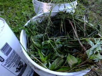 It's not stinky yet. Fresh weed tea brews in a North Douglas garden.