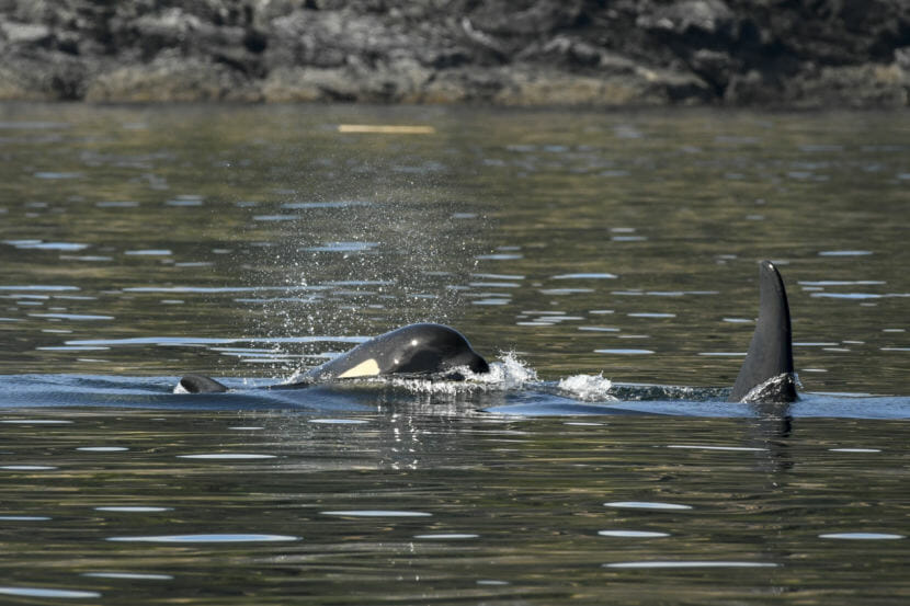 "This picture from July 21 shows shrinkage around ailing orca J50's head from weight loss, aka ""peanut head syndrome."""