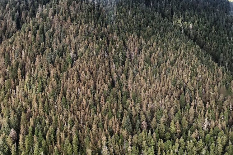 Yellowish hemlock trees are seen from an airplane in Southeast Alaska. The color comes from sawfly larva eating and killing some of the leaves. (Photo courtesy Elizabeth Graham)