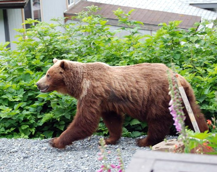 A brown bear strolls through a Sitka neighborhood in July, 2014. (Photo courtesy Sitka Bear Report)