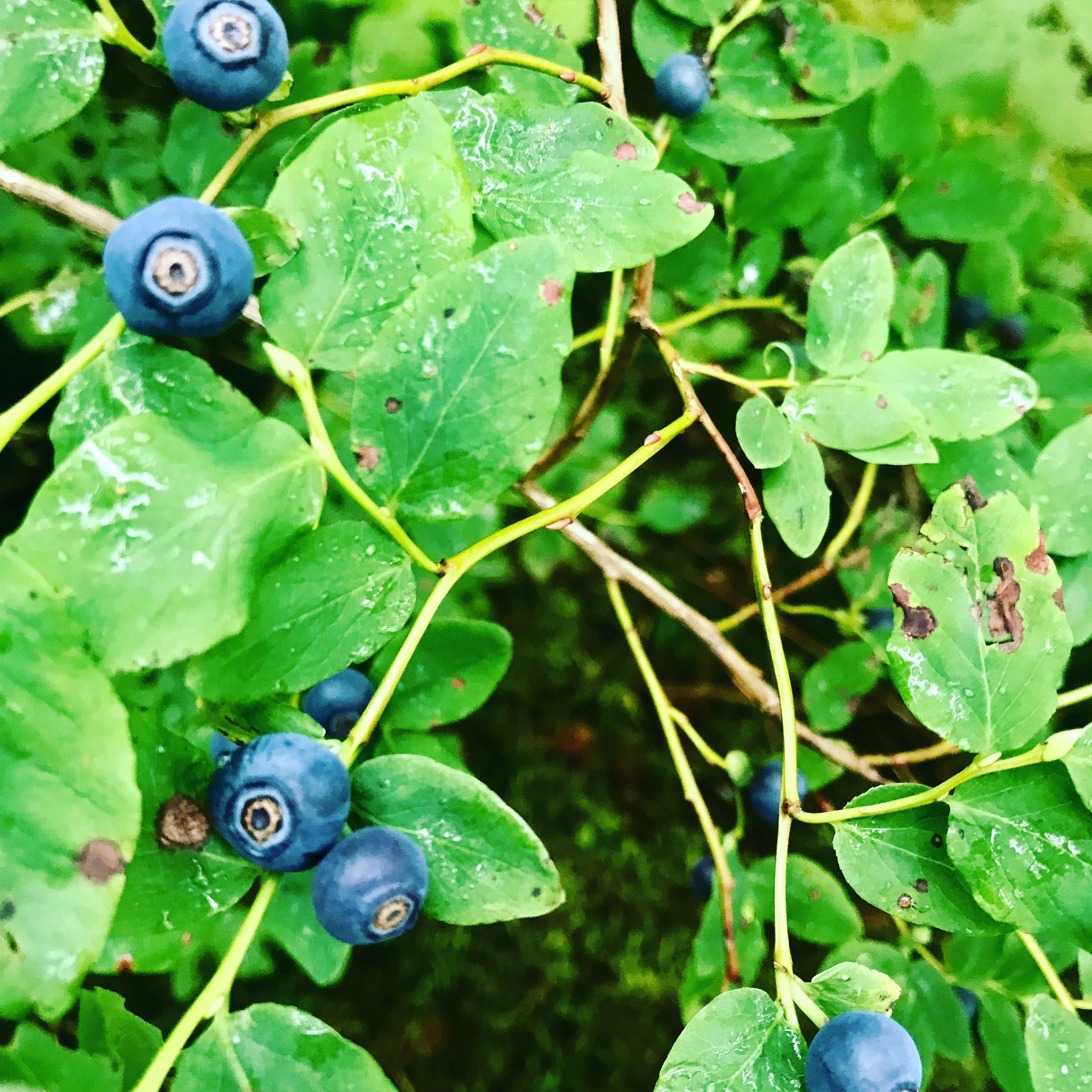 Vaccinium Ovalifolium, or Oval-leaf Blueberry. (Photo by Daysha Eaton/KMXT)