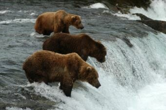 Katmai bears fish at Brooks Falls. (Photo courtesy National Park Service)