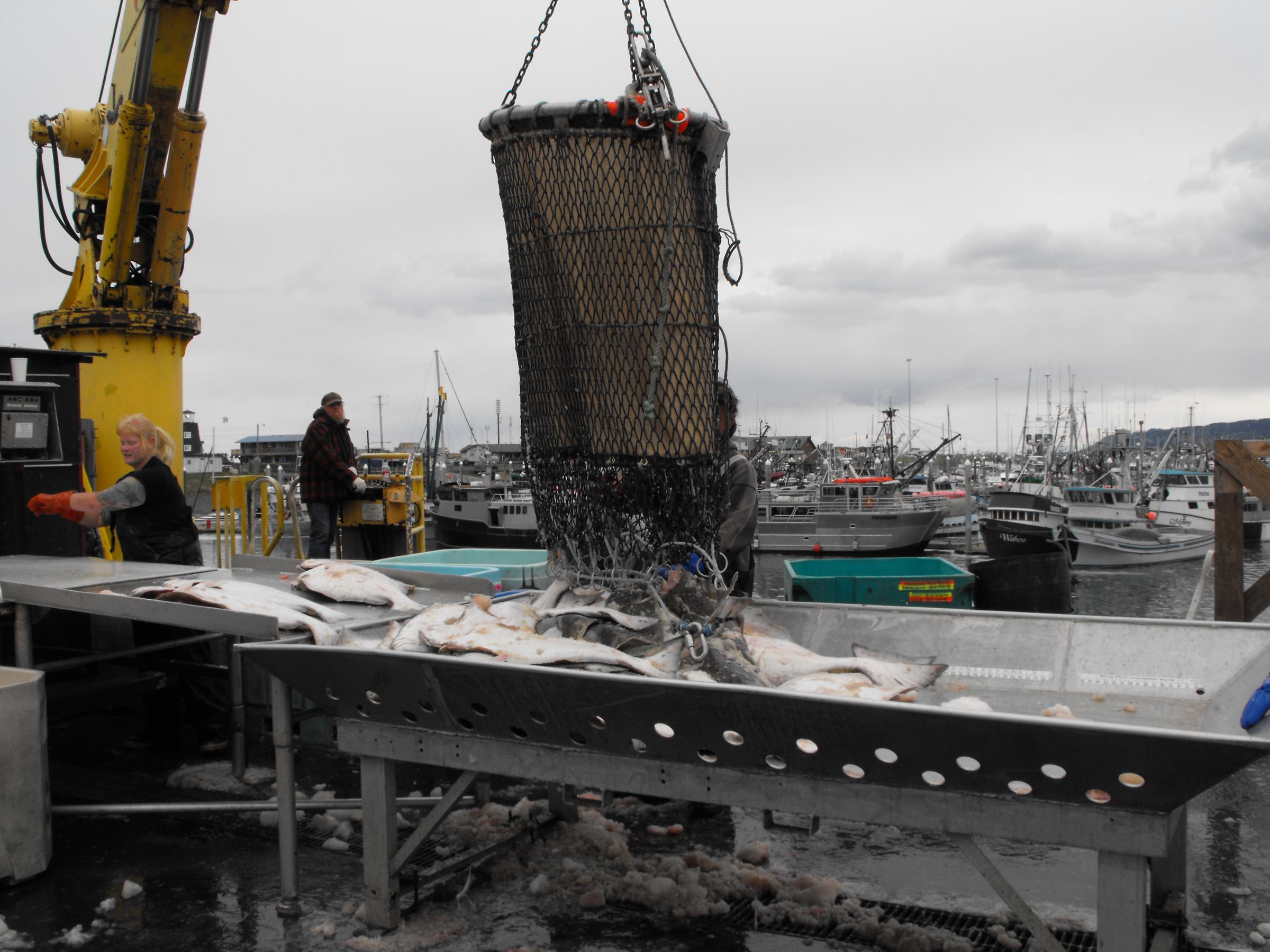 Fishermen offload halibut in Homer. (Photo courtesy Rudy Gustafson)