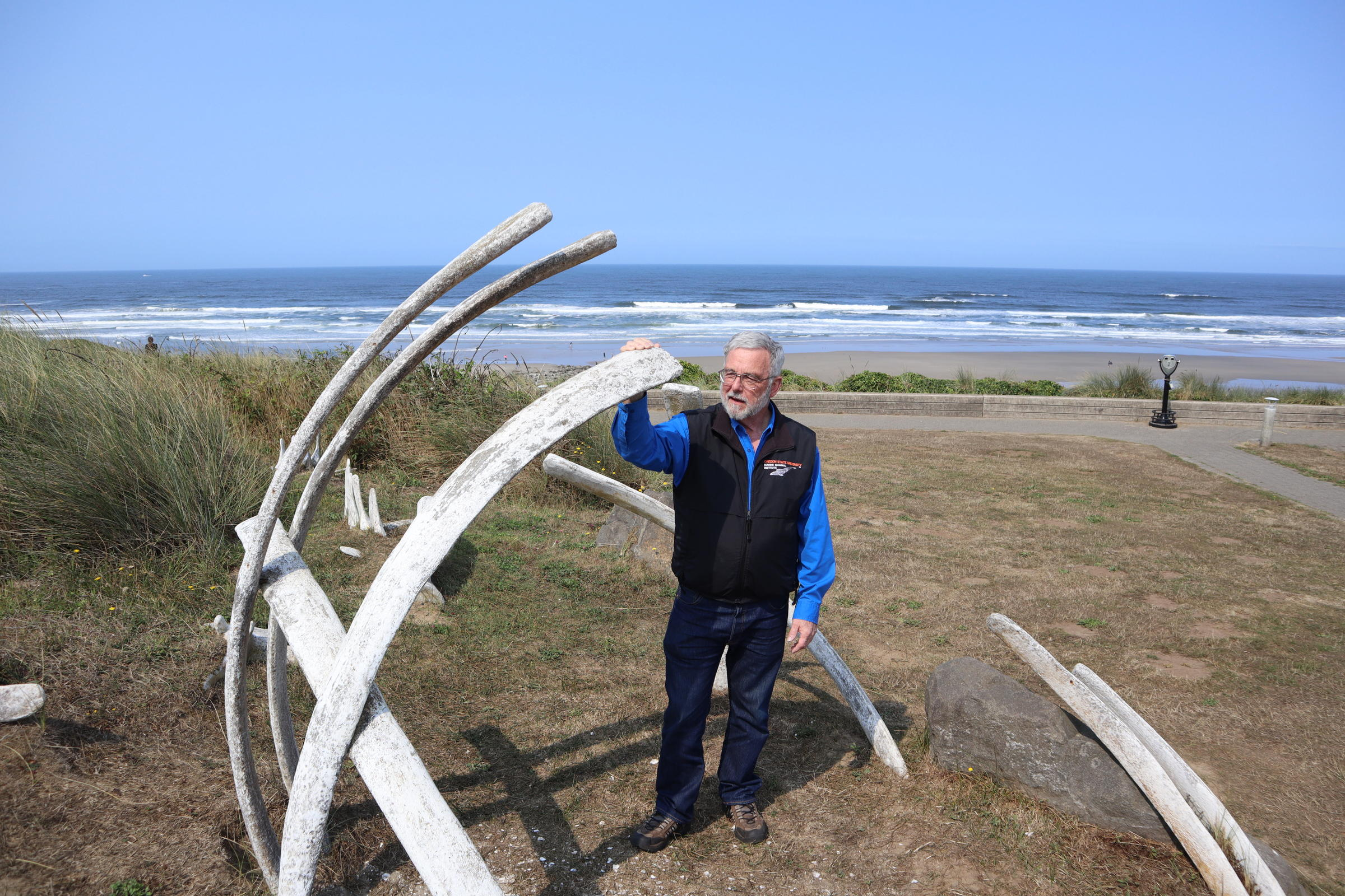 Oregon State University Marine Mammal Institute Director Bruce Mate posed Thursday beside a sculptural installation mimicking whale bones in Newport's Don Davis Park. (Photo by Tom Banse/Northwest News Network )