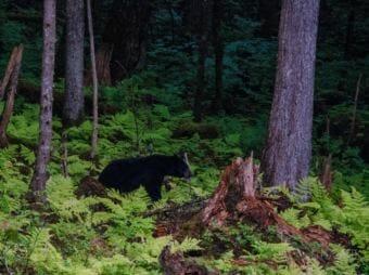 A black bear walks through the woods bordering the Jensen-Olson Arboretum in August. (Photo courtesy of Merrill Jensen/City and Borough of Juneau)