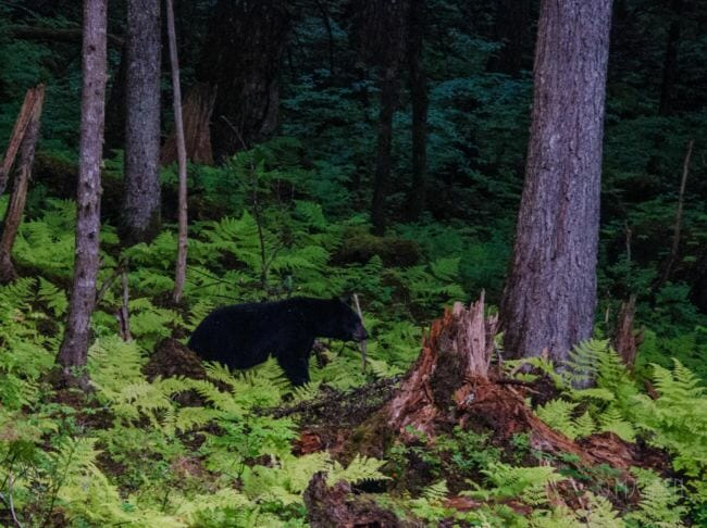 A black bear walks through the woods bordering the Jensen-Olson Arboretum in August. (Photo courtesy of Merrill Jensen/City and Borough of Juneau)