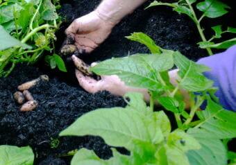 A North Douglas gardener robs his potato plants for some fingerlings for dinner.
