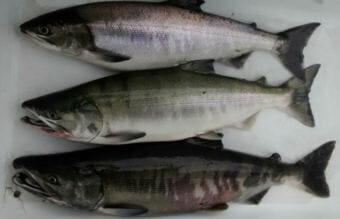 Troll caught chum salmon are fetching around a dollar a pound for fishermen this year. (Photo courtesy of Matt Lichtenstein)