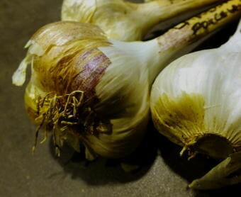 Close-up view of hardneck garlic which awaits planting in a North Douglas garden.