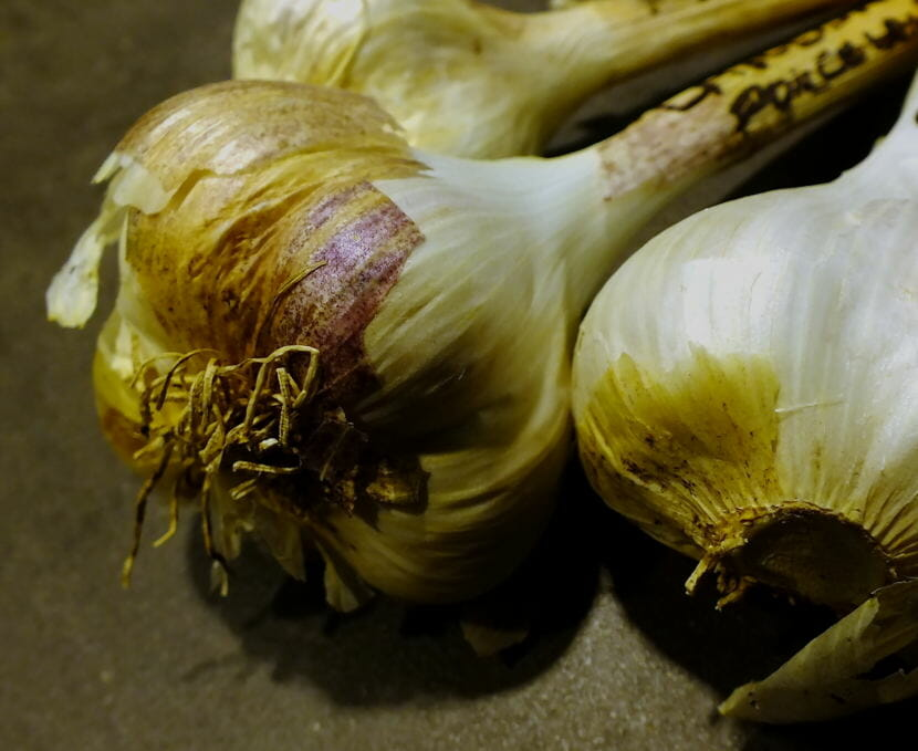Close-up view of hardneck garlic which awaits planting day in a North Douglas garden.