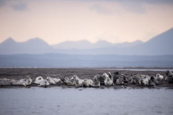 Harbor seals gather on a spit of land in the Izembek National Wildlife Refuge near Cold Bay, Alaska. For six decades, the refuge along the coast of the Bering Sea has been protected as one of the wildest nature spots on Earth.