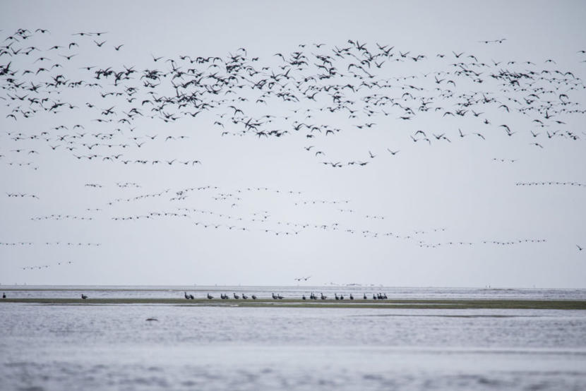 Pacific black brant fly over the Izembek National Wildlife Refuge and land on its eelgrass beds. The world's population of the sea goose – 150,000 of them – fattens up here before a nonstop 60-hour migration to Mexico.