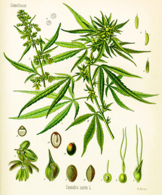 Cannabis sativa illustration in Köhler's Medicinal Plants, 1887. (Illustration by Adolf Köhler, via Wikimedia Commons)