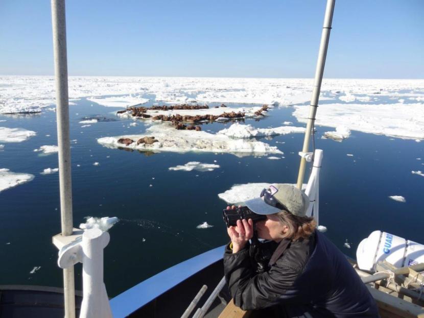 Biologist Lori Quakenbush monitoring arctic marine mammals.