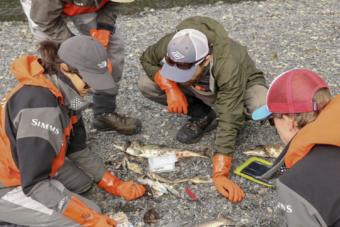 A group of researchers from the Prince William Sound Science Center sample pink salmon carcasses near Cordova as part of the Alaska Department of Fish and Game's Alaska Hatchery Research Project.
