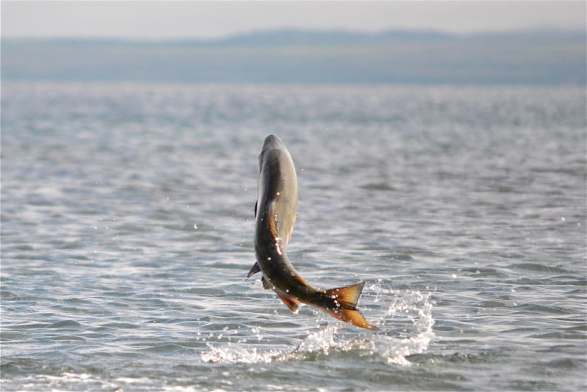 A chum salmon leaps out of the water in Cold Bay.