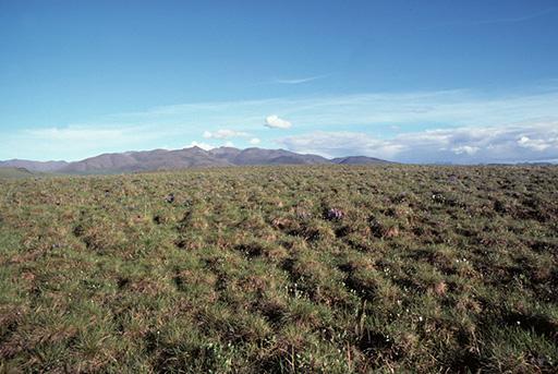 Tussock tundra on Arctic National Wildlife Refuge coastal plain.