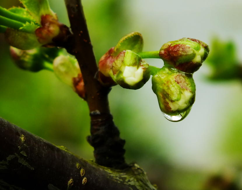 Close up of Telephone Hill cherry buds as they prepare to blossom at KTOO's Agricultural Test Station and Garden of Science! (Photo by Matt Miller/KTOO)