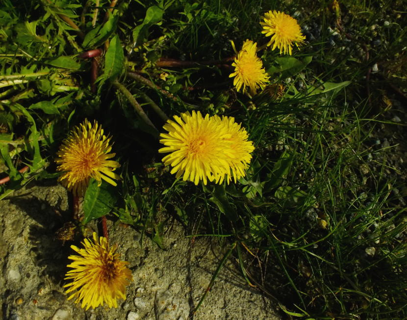 Dandelions bloom before they go to seed in an adjunct of the KTOO Agriculture Test Station and Garden of Science!