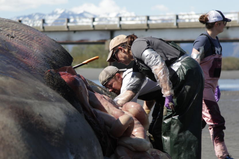 Burek and volunteer Travis Shinabarger work on the whale. (Photo by Nat Herz / Alaska's Energy Desk)