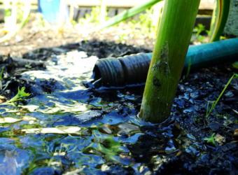 Thirsty garlic in a North Douglas garden get a much-needed drink.