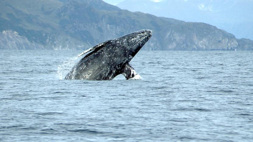 A gray whale breaches the surface.